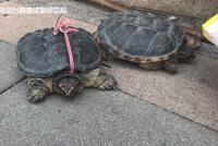 """南京小贩快车道上卖""""野生龟"""" 进价一百卖一千"""