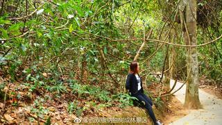 古藤老树,参天大树,热带雨林,版纳风情