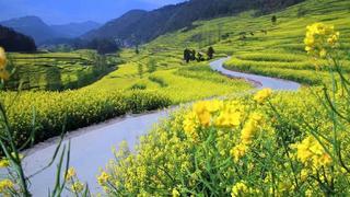 中国最早的春天 云南罗平30万亩的油菜花