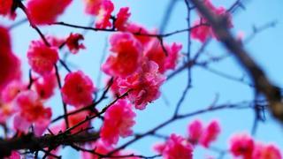 蓝色天空下盛放的红梅