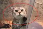 猫咪被主人逮去洗澡,拼死也不进浴室,歇斯底里扶门狂吼不停图片