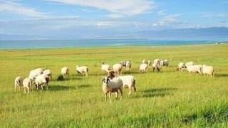 青海湖 湛藍晴空下的詩