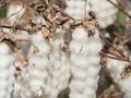 棉花2017年产量增加 长江、黄河流域减产较多
