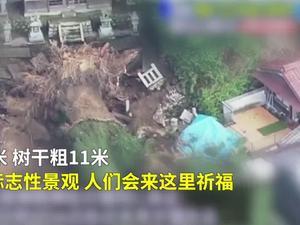 日本暴雨下不停!  40米高的千年神樹