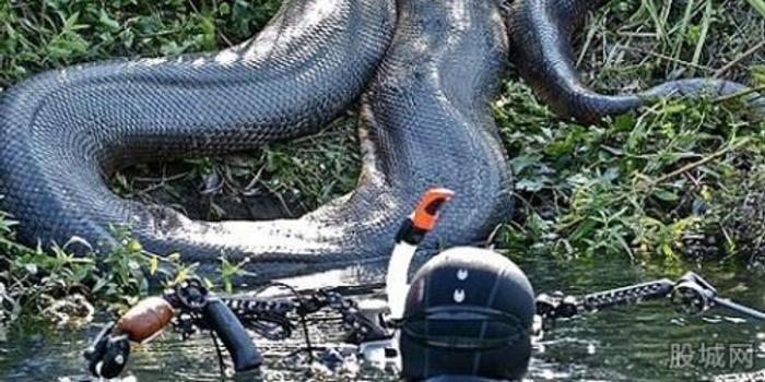 40斤大蟒蛇疑藏天花板十年 喂养后将放归大自然