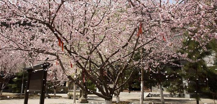 京西千灵山600亩山桃花齐盛放