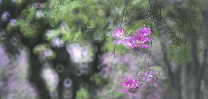 三月羊城梦幻紫荆别样红