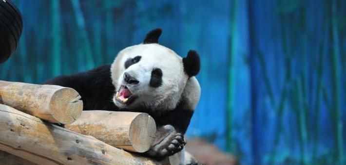 沈阳动物园更正大熊猫性别