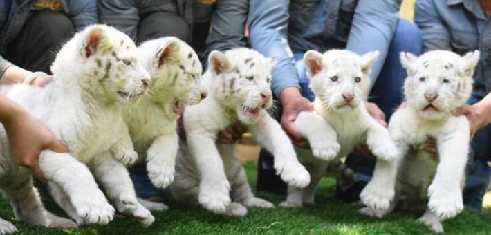 雪虎五胞胎与游客见面呆萌可爱