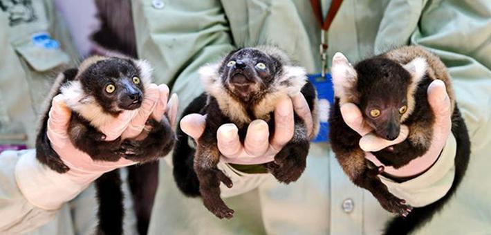 中国首例斑狐猴三胞胎在广州诞生