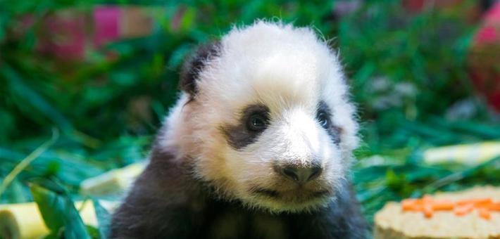 """广州熊猫宝宝""""隆仔""""与游客见面"""