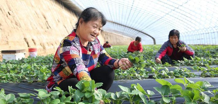 初冬农事儿忙 农民们忙着管护收获各类农作物
