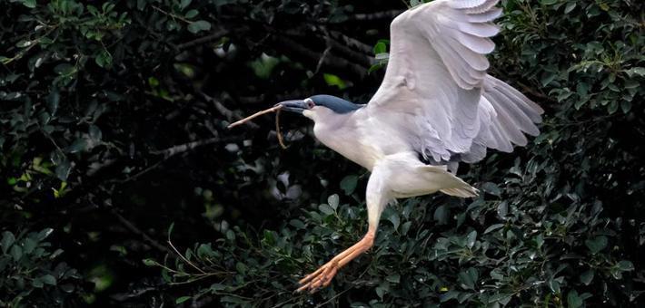 春天里 广州这些鹭鸟好忙碌