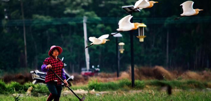 白鹭鸟在田间与村民共舞