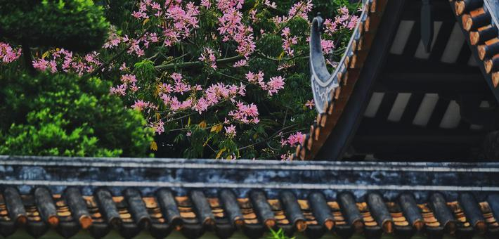 广州异木棉灿烂盛开