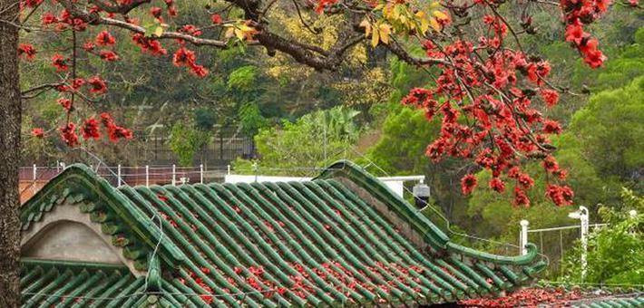 广州木棉花灿烂盛放 春色迷人