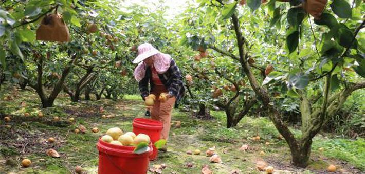 广西青花梨之乡万亩果实压枝头