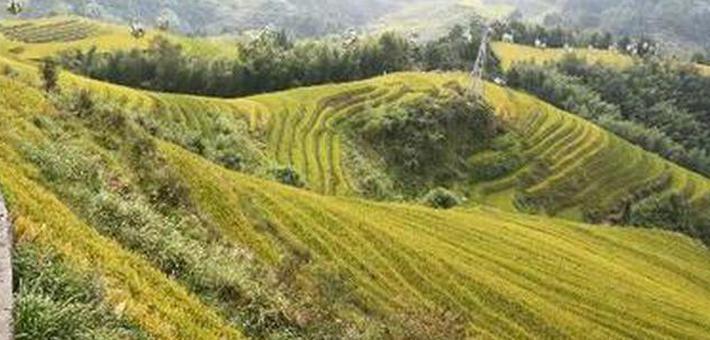 桂林这个景区黄了 迎来最美时期