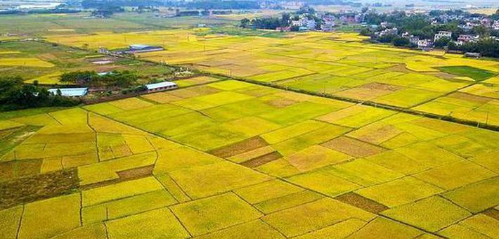 钦州:金色田园美如画