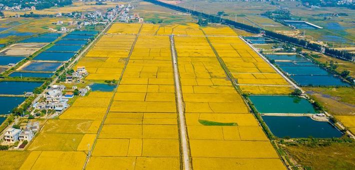 广西东兴:数百亩田园宛如金色画卷