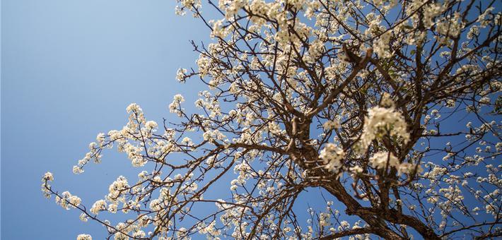 贺州:早春梨花千树雪