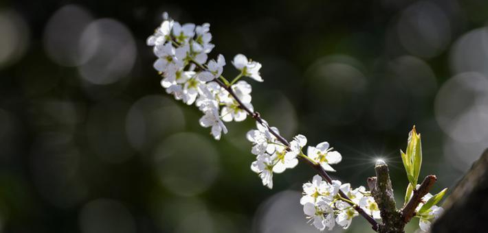 桂林全州:春风送暖李花开