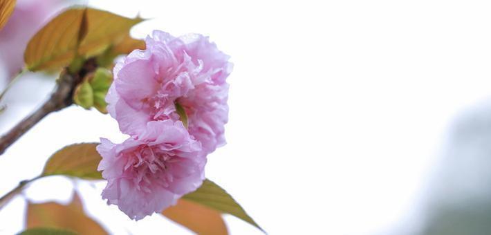 河池四月繁花盛开 雨中赏花别有风味
