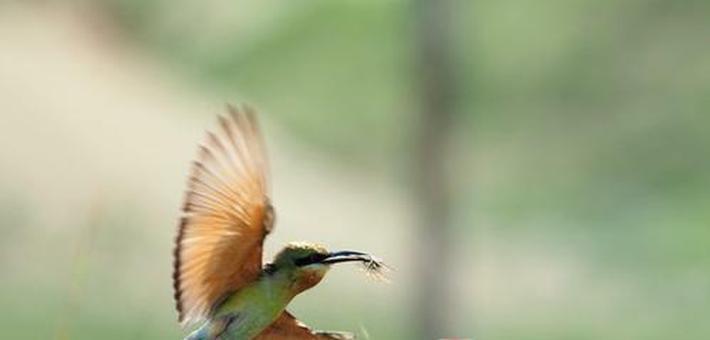 五源河湿地公园首现最美小鸟蜂虎