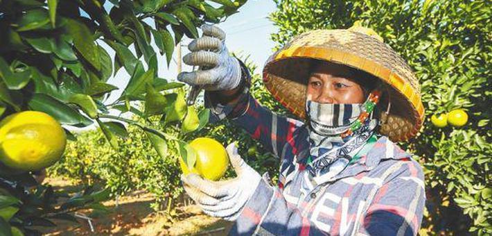 海南红橙飘香 甜了产业富了职工