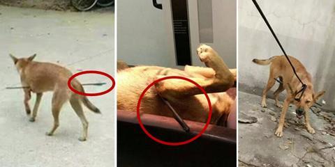 华科校园内流浪狗被弓箭射穿胸