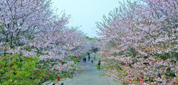 宜都:樱花烂漫春满园 美景如画引游人