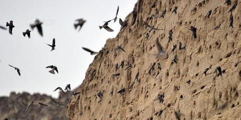 上千只崖沙燕渭河边工地筑巢
