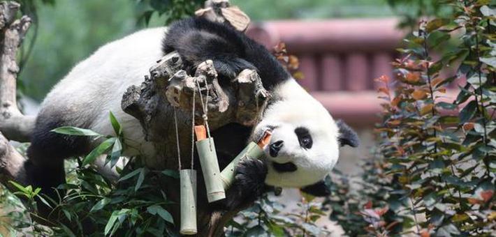 """端午节大熊猫吃""""粽子"""""""