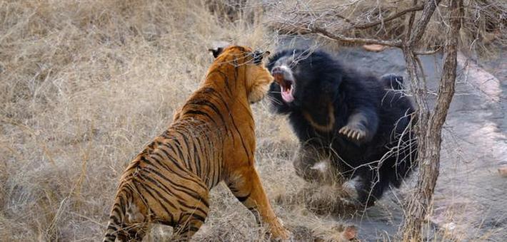 印度母熊勇猛逼退两头老虎