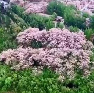 央视新闻+网络直播芒砀山梧桐花开