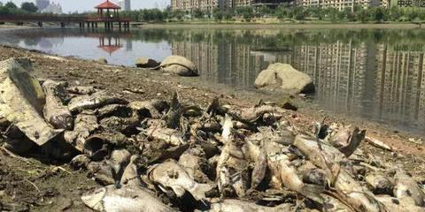 新乡牧野湖现大量死鱼 男主播现场呕吐