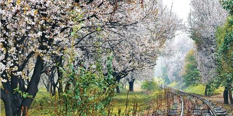 郑州300多株60岁老梨树盛开 赏花速来