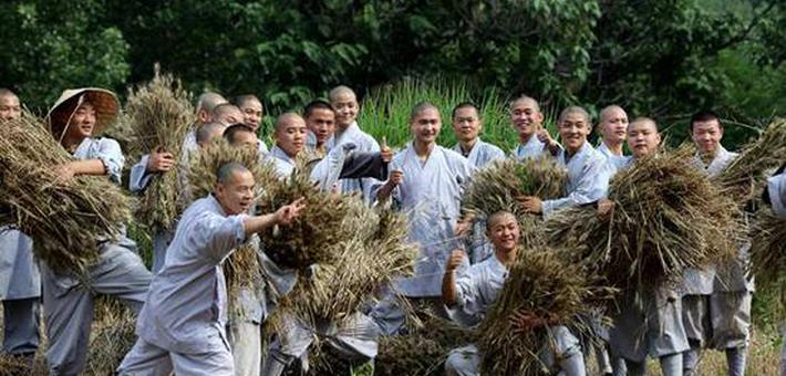 少林寺的麦子熟了 中外弟子收割忙