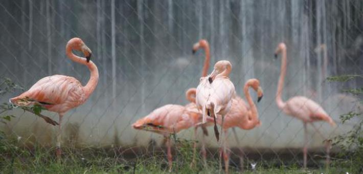 郑州动物园10只火烈鸟宝宝出生
