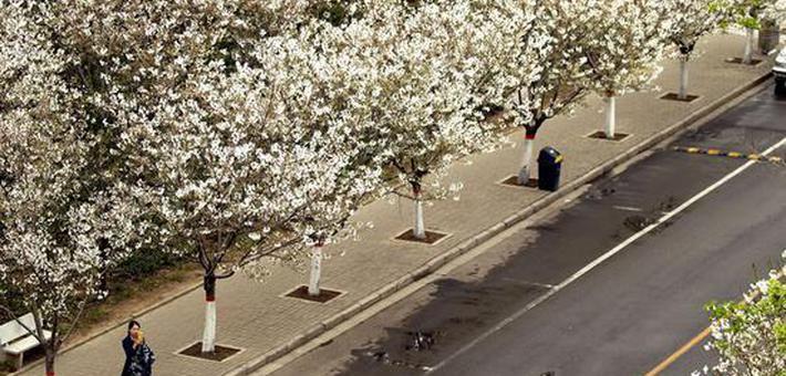 许昌学院樱花盛开