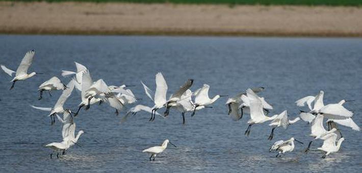 黄河湿地生态好 鸟儿纷来舞翩跹