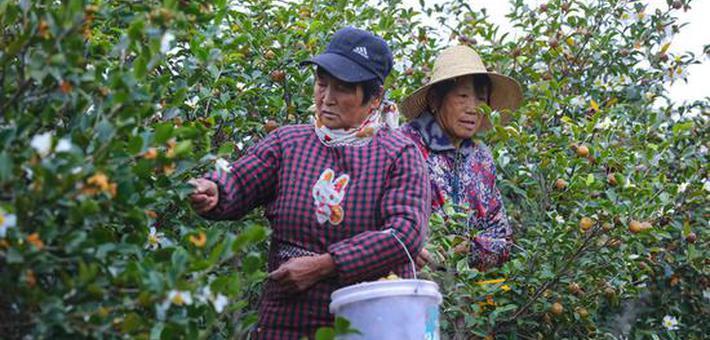 信阳光山:油茶喜获丰收
