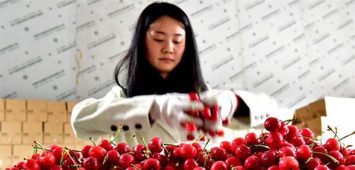 樱桃红了 村民富了