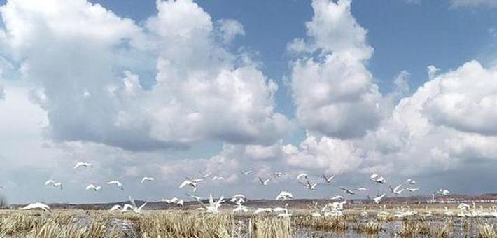 200余只野生白天鹅随春至黑龙江