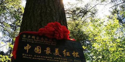 """600岁红松被评""""中国最美"""""""