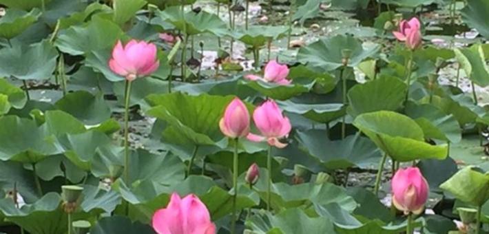 满池荷花等君赏 太阳岛万株红莲盛开