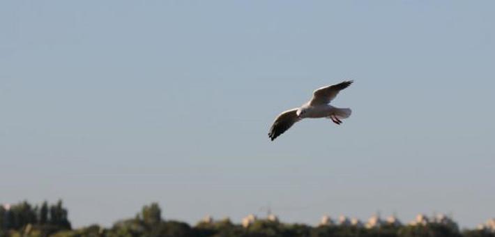 江鸥南飞之前在松江之畔流连