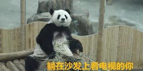 春节在家的你和这俩熊猫简直一模一样