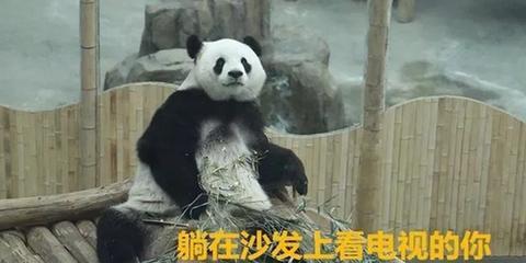 春节在家的你和哈尔滨熊猫一模一样