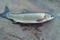 湘潭市民买到煮不烂的鱼 部门:蚕豆喂养 可放心吃
